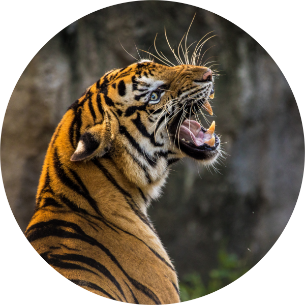 Tortenaufleger Tiger 1